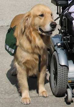 Wheelchair Assistance Dogs Stability Assistance Dogs Service Dog